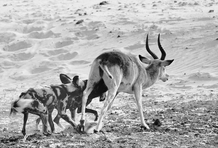 Wild Dogs Wildlife & Nature Wildlife Photography Animal Behaviour Animal Themes Animal Wildlife Animals Attacking Animals In The Wild Day Mammal Nature No People Outdoors Standing Wildlife