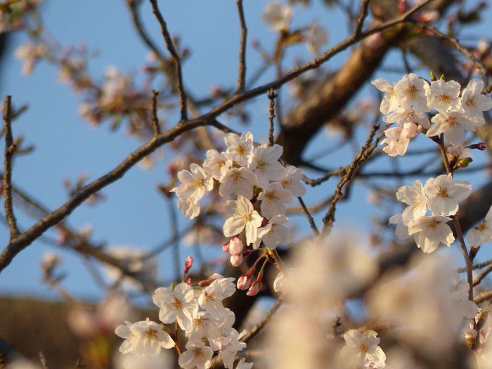 Sweet cherry blossoms 桜 サクラ Sakura Cherry Blossoms Sakura Trees EyeEm Selects Plant Flowering Plant Flower Growth Tree Fragility Nature Branch Springtime Low Angle View