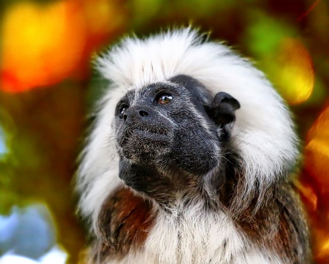 Tamarin Animal Body Part Animal Hair Animal Head  Animal Themes Beauty In Nature Close-up Day Focus On Foreground Looking Away Mammal Nature No People Outdoors Part Of Portrait Selective Focus Wildlife