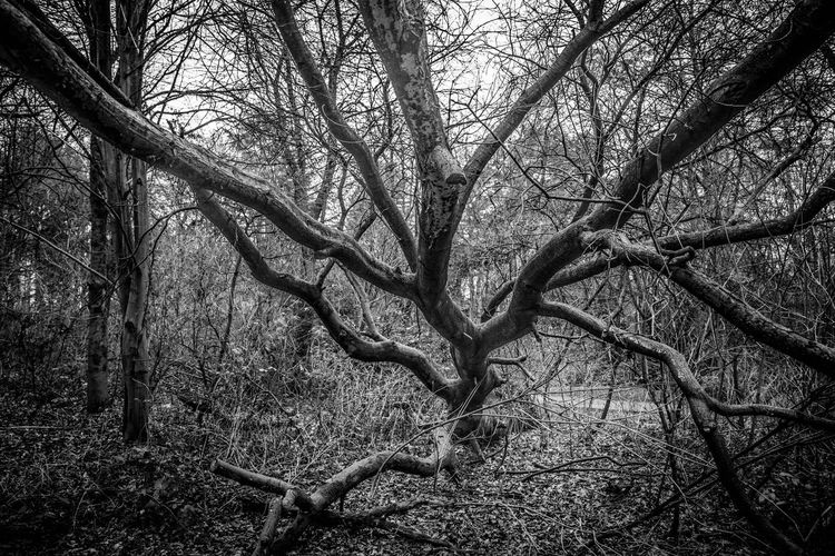Creepy looking tree branches Tree Nature Bare Tree Branch Tree Trunk Tranquility Forest Outdoors Beauty In Nature Tranquil Scene Day No People Scenics Dead Tree Spreading Sky Branches Like Veins Surrounded By Darkness