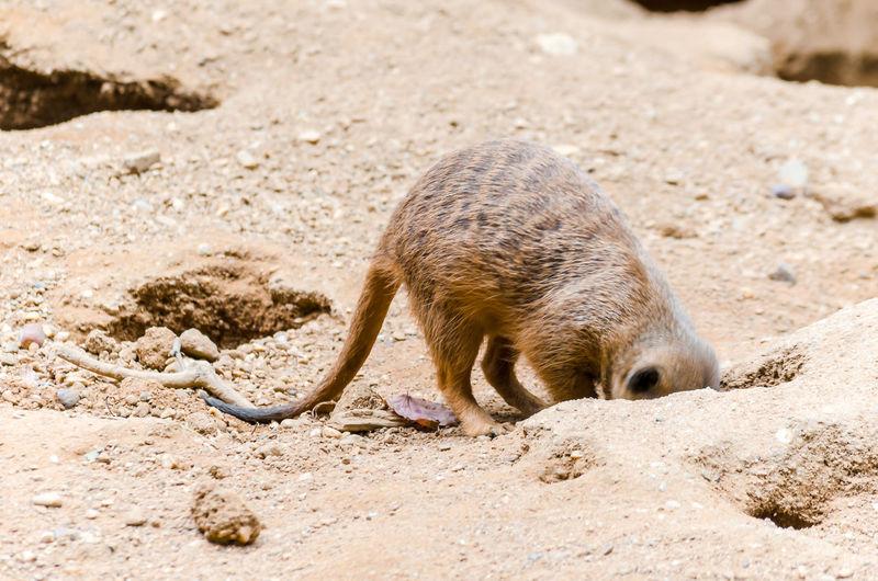 Meerkat Digging Burrow For Guarding And Prey