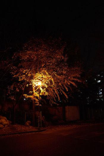 on the Street with Maidenhair Tree Maidenhair Tree Gingko with Streetlamp Streetlights Yellow colored