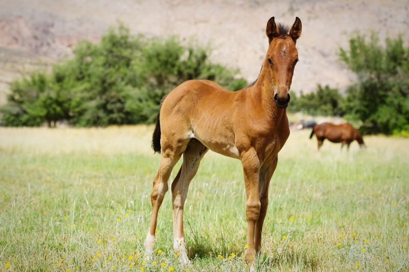 foal in field Field Farm Equine Brown Green Grass Quarter Horse Baby Horse Horse Photography  Horses Mother And Baby Herd Rural Cute Cute Animals Baby Animals Full Length Young Animal Standing Side View Portrait Grazing Grass Foal Horse Herbivorous Hoofed Mammal Livestock Pony
