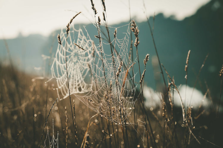 Close-up of spider web on dry plants