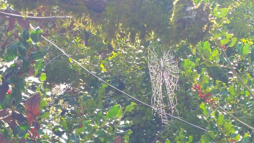 Spiderweb Wonder Intricate Design Pattern Arachnid Rewilding Quiet Serene Tranquility Lacey Holly Tree Mist Perspective Autumn SpiderRed Nature Growth Outdoors Spiderweb In Morning Dew Tree Interwoven Lines Web