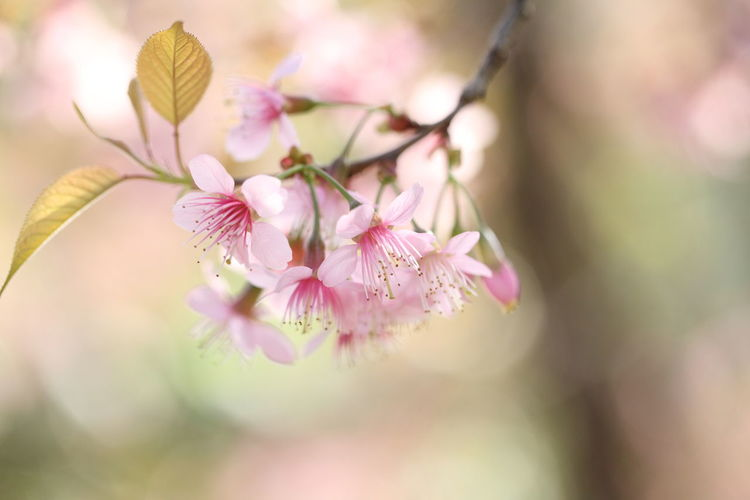 Sakura Sakura Blossom Pink Color Plant Flower Beauty In Nature Flowering Plant Freshness Close-up Tree Springtime Selective Focus Growth Fragility Nature Blossom Petal No People Branch Vulnerability  Flower Head Day Outdoors Cherry Blossom Softness Cherry Tree Bunch Of Flowers