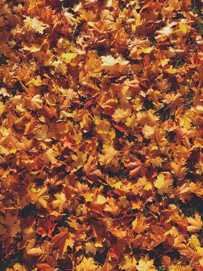 Full frame shot of yellow maple leaves