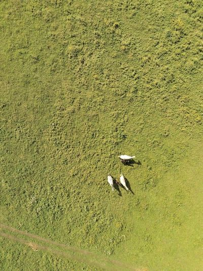 Horses view from above View From Above EyeEm Selects Eagle View EyeEm Nature Lover Horses EyeEm Best Shots Day Nature Drone  Drone Photography Horses On Daylight Horses EyeEm Gallery Backgrounds Full Frame Field High Angle View Grass Green Color Long Shadow - Shadow Grassland Grass Area Farm Animal Green Greenery Countryside Farmland Yard FootPrint