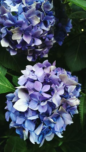 hortensia flowering plants backdrop Nature Backgrounds Botanical Garden Botanical Species Gardens Backdrops Outdoors Gardens Flowering Plants Flower Head Flower Water Purple Bunch Close-up Hydrangea Bunch Of Flowers Blooming In Bloom Blossom Botany Plant Life