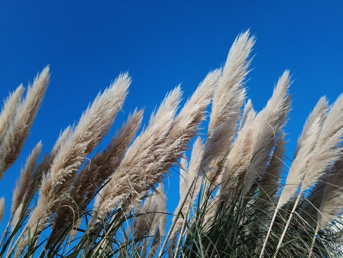 pampas grass Wind Wild EyeEm Selects Nature No People Outdoors Close-up Blue Day Sky Tranquility Blue Sky Eastbourne Seafront England Uk Street Photography Clear Sky Beauty In Nature Autumn Low Angle View Wind Wild Nature Sunny Sunlight Winter Cold Day Branch Crop  Agricultural Field