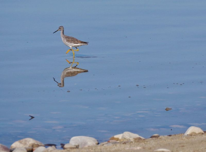 On the hunt Wyoming Wildlife Lake Long Billed Dowitcher Wyoming Animal Animal Themes Animal Wildlife Animals In The Wild Bird Vertebrate Water Nature No People Sea Day Beauty In Nature Beach Blue Outdoors