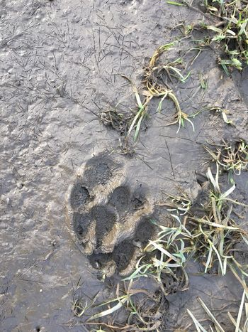 Pfotenabdruck Abdruck High Angle View Nature Outdoors No People Sand Day Textured  Beach Close-up Paw Print Animal Track