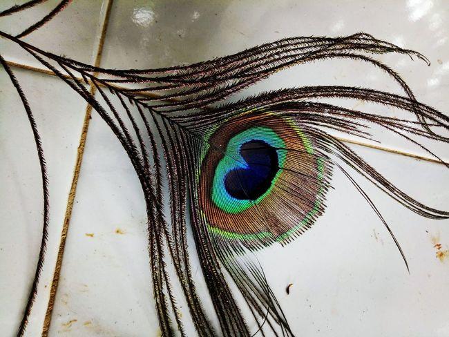 Peacock Peacock Art Peacock Feather