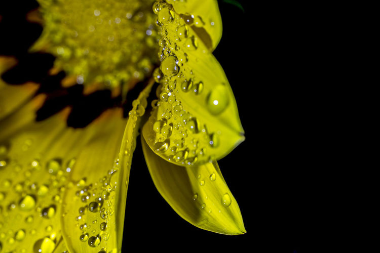 Close-up of wet yellow flower against black background