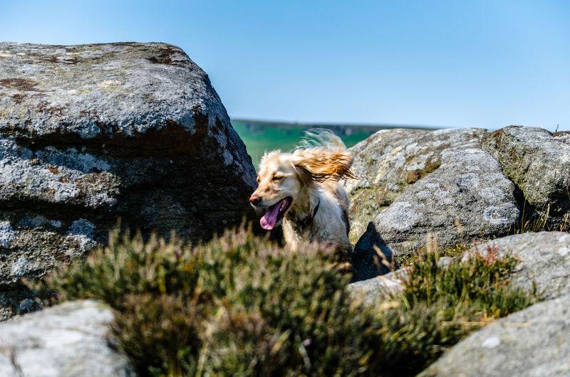 Dog running amongst the rocks against sky