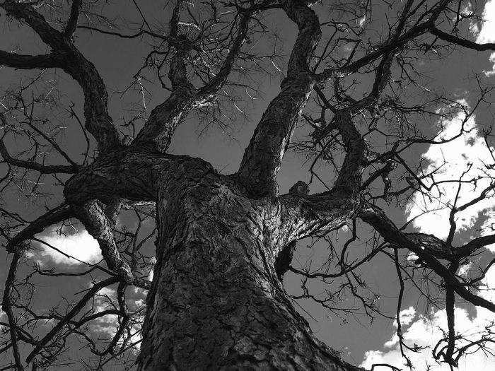 Tree Black &