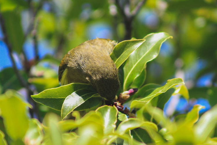 New Zealand bellbird at Lake Mistletoe in Southland, South Island, New Zealand New Zealand Nature South Island Landscape Scenics Outdoors Outside Southland Manapouri Travel Destinations Travel Traveling Tourism Sun Sunlight Fiordland Fiordland National Park National Park Lake Mistletoe Plant Tree Branch Bird Bellbird Green Color Animal Animal Themes Animals In The Wild Wildlife Eating Leaves Leaf Plant Part Growth Beauty In Nature Animal Wildlife One Animal Close-up No People Selective Focus Day Flower Vertebrate