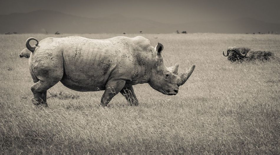 Rhino Conservation Kenya Safari Wildlife Wild Rhino Animal Themes Animal Land One Animal Vertebrate Day Mammal Animals In The Wild