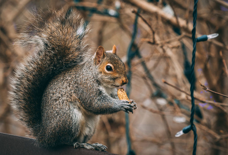 Close-up of squirrel eating peanut