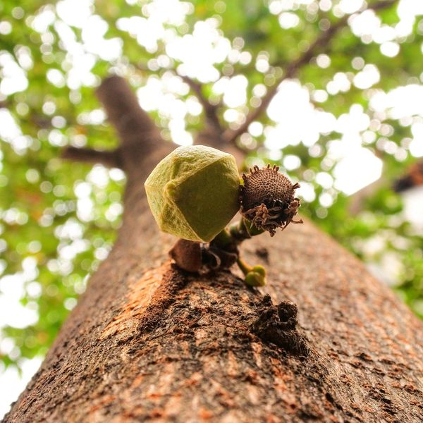 EyeEm Selects Fruit Fruits Flower Flower Head Soursop Soursop Fruit Soursop Flower Tree Trees And Nature Nature Day Outdoors Beauty In Nature Nikon1 J5 Nikonphotography Nikon Nikon Photography Mirrorlessphoto Nikon1