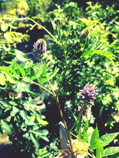 Fiore della liquirizia Liquirizia Fiore Venditapiccolifrutti