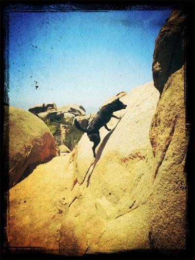 Kona the Mountain Goat