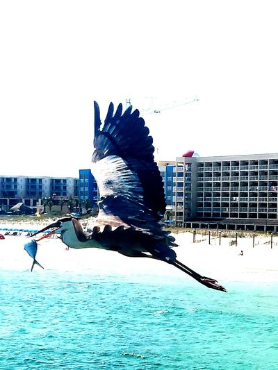 He stole this fish from a fisherman off the pier at Destin, FL Day Outdoors Birds🐦⛅ Birds Of EyeEm  Sky Birds Of EyeEm  Seagull SEAGULL IN FLIGHT Seagull, Birds, Flight, Fly, Hover, Feathers, Wings, Beaks, Span, Fish In Beak Fish In Seagull Mouth