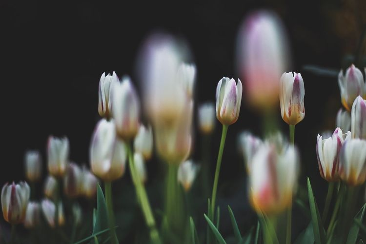 Тюльпаны Tulips EyeEm Selects Plant Flower Flowering Plant Growth Beauty In Nature Vulnerability  Nature Close-up No People
