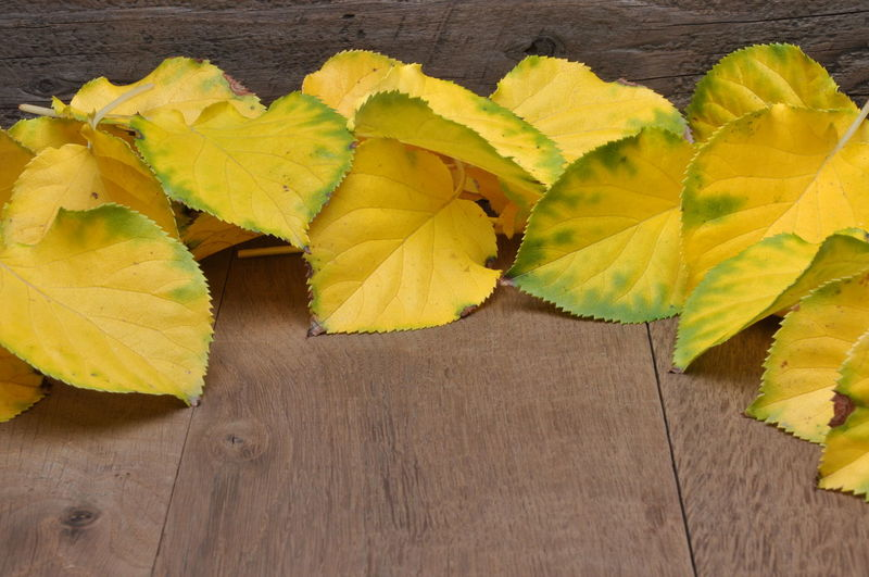 Colored leaves on wooden background Autumn Wall Board Close-up Decoration Frame High Angle View Leaf Leaves Nature Plant Part Season  Still Life Wood Wood - Material Yellow