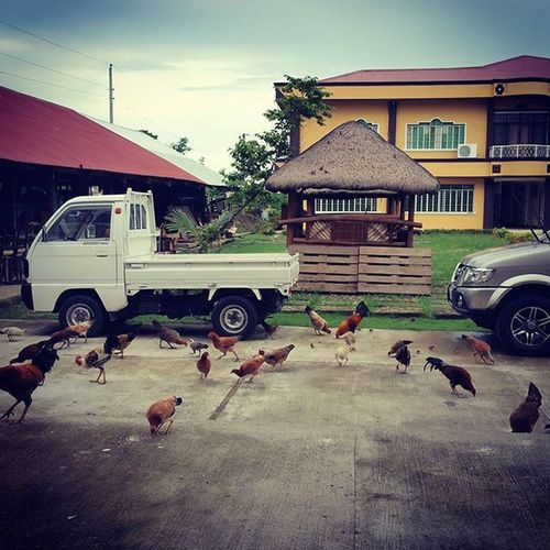 """I will feed all the chickens both boys and girls"". hehehe as quoted. 🐔🐣🐥🐤"