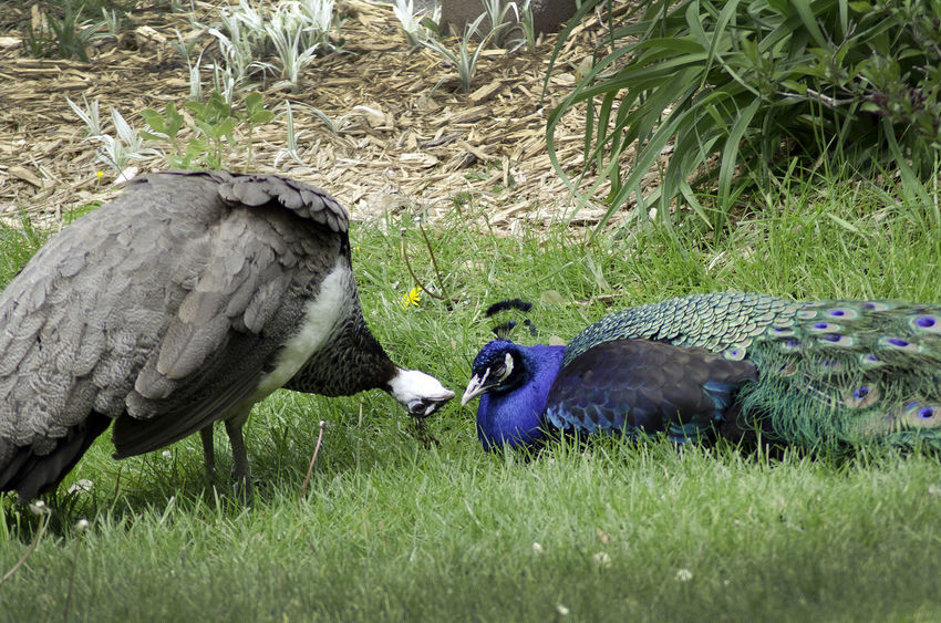 a female peacock tries to entice a bored male. or perhaps she is just saying do I look pretty? FUNNY ANIMALS Females Animal Themes Animal Wildlife Animals In The Wild Beauty In Nature Bird Close-up Comical Day Field Flirting Grass Mating Dance Nature Outdoors Peacock Perching Visual Creativity The Creative - 2018 EyeEm Awards