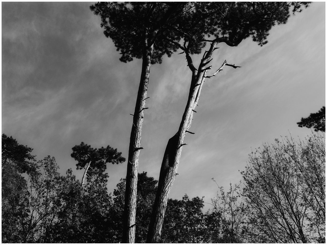 tree, plant, sky, growth, nature, tranquility, beauty in nature, no people, low angle view, cloud - sky, trunk, tree trunk, environment, outdoors, tranquil scene, transfer print, silhouette, branch, day, scenics - nature