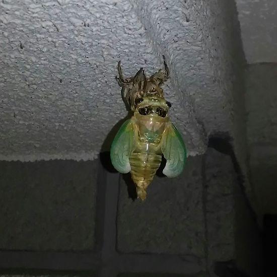 そして羽化成功 Insect Nature 蝉 Summer Japan Taking Photos 梅雨明け近いかなぁ(^^)