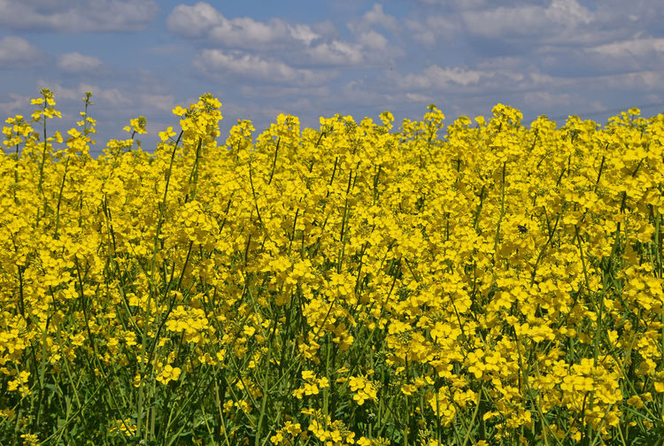 Field of rapeseed flowers in summer Agriculture Blossom Botany Coleseed Colza Field Flower Flowers In Bloom Landscape Nature Plants Rapeseed Sky Summer Summertime Yellow Landscapes With WhiteWall The Great Outdoors With Adobe