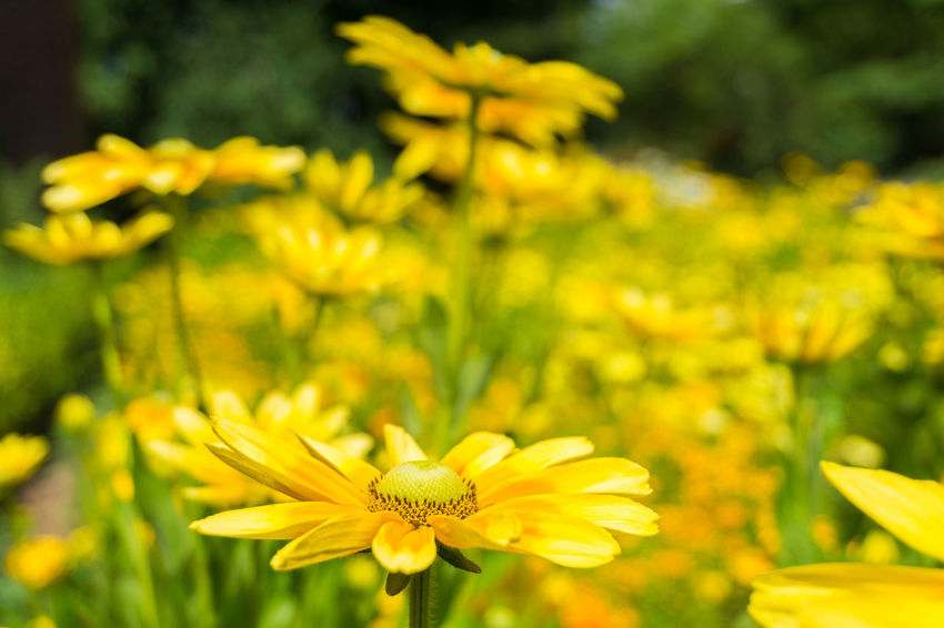 Yellow Flowers in Summer. Golden Daisy Bush Asteraceae Beauty Blooming Close-up Closeup Easy To Grow Euryops Chrysanthemoides Flower Head Flowering Flowers Freshness Garden Golden Daisy Bush Green Growing Growth Meadow Nature Plants Season  Summer Yellow