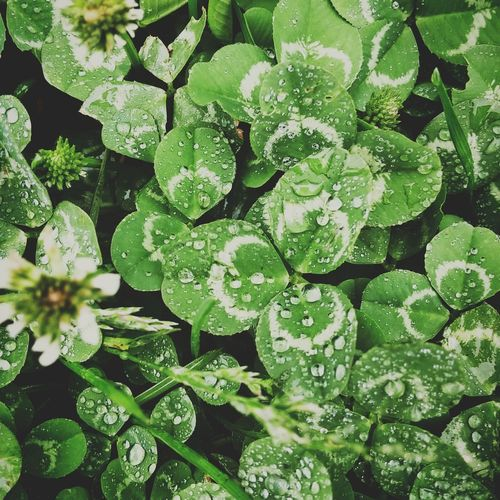 Clovers  Light Rain Raindrops On Clovers Lucky Clover Weed Or Flower Pretty Weed Closeup In Nature Closeup Photography