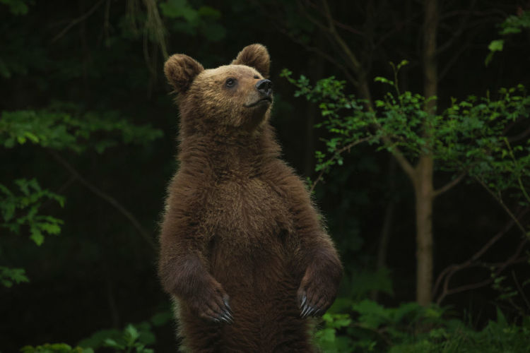 European brown bears in the wild forest.