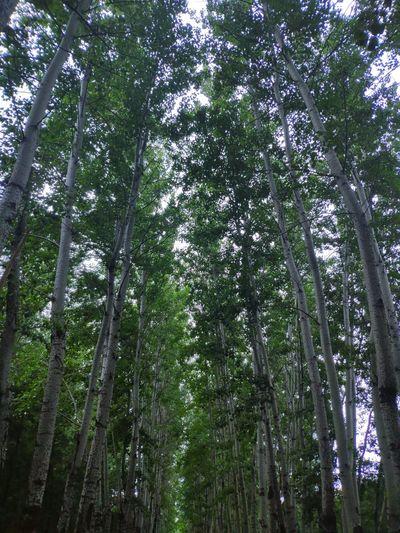 Tree Bamboo -