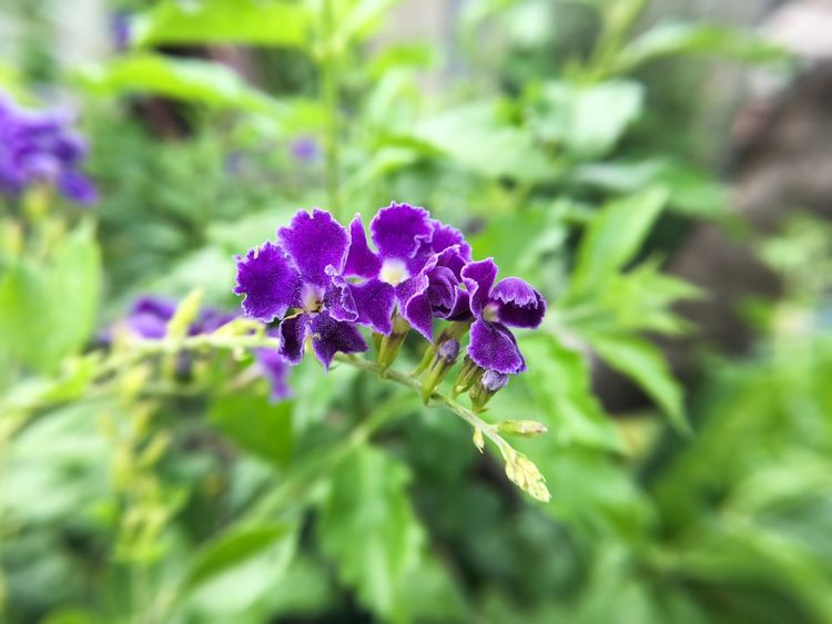 Duranta Erecta Pigeon Berry, Plant Small Business Beauty In Nature Bloom Blooming Blossom Botany Duranta Flora Floral Flower Flower Head Fragility Fresh Freshness Golden Dewdrop Growth Macro Nature No People Outdoors Petal Purple