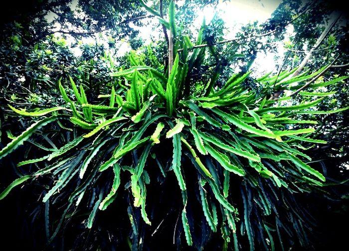 Wildthing Dragonfruit Cactus Waiohinu Park Myneighborhood Naalehu Hawaii USA Namaste ❤ Taking Photos