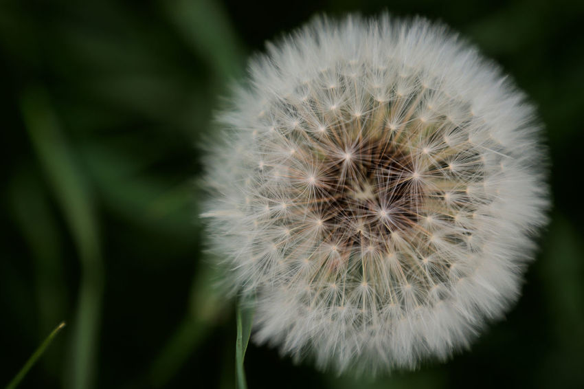Beautiful Beautiful Nature Dandelion Seed Wildflower Beauty In Nature Beauty In Nature Close-up Dandelion Dandelion Field Day Detail Flower Flowering Plant Focus On Foreground Freshness Growth Nature No People Outdoors Plant Wildflowers