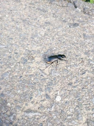 ユミアシゴミムシダマシ 。Promethis valgipes. Insect 昆虫 虫 Animals In The Wild One Animal Animal Themes Animal Wildlife High Angle View Outdoors No People Day Close-up Nature