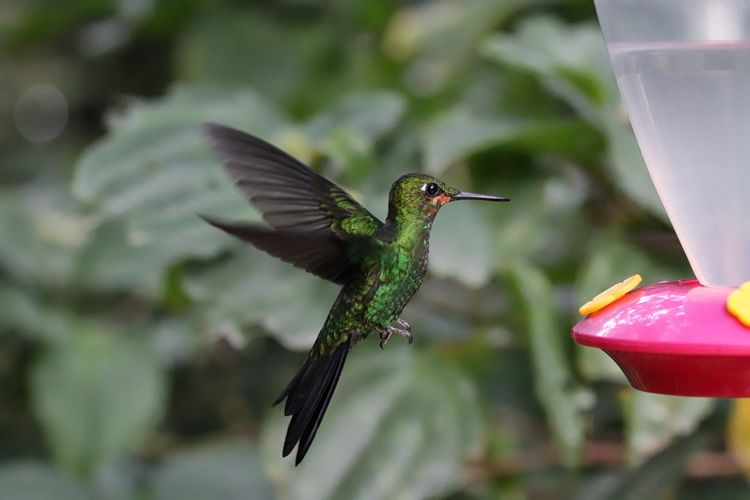 Close up of a green crowned brilliant hummingbird flying to bird feeder