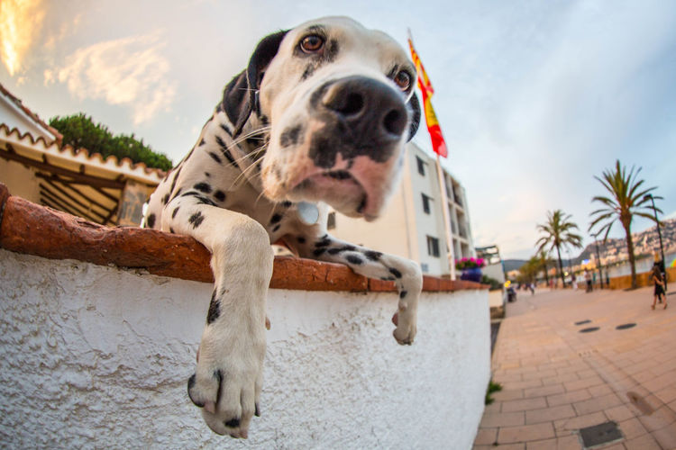 Warning: I will lick your camera in a moment Dalmatian Dog Dogslife FishEyeEm Low Angle View No People Pets Zoology