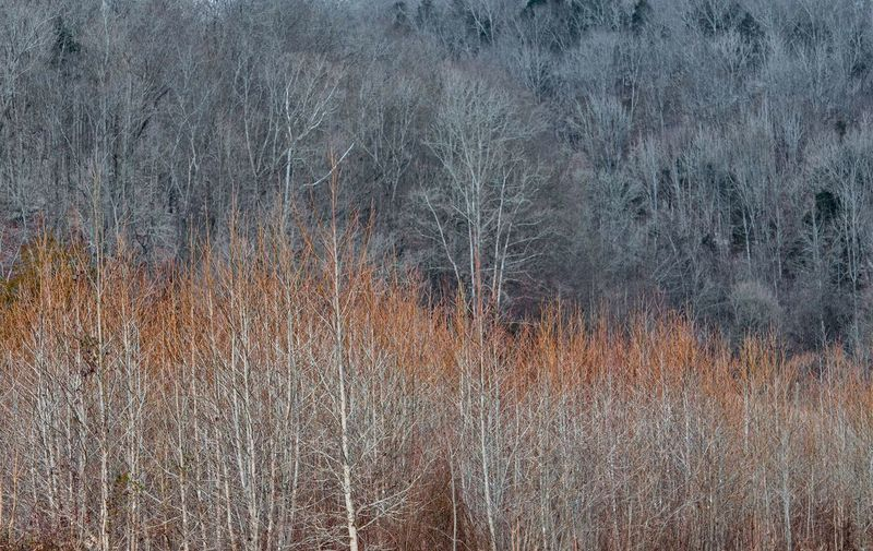 Bare trees in grass