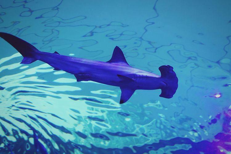 Fish Hammerhead