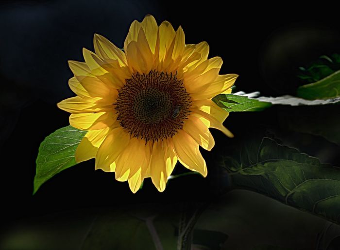 Close-up of yellow sunflower against black background