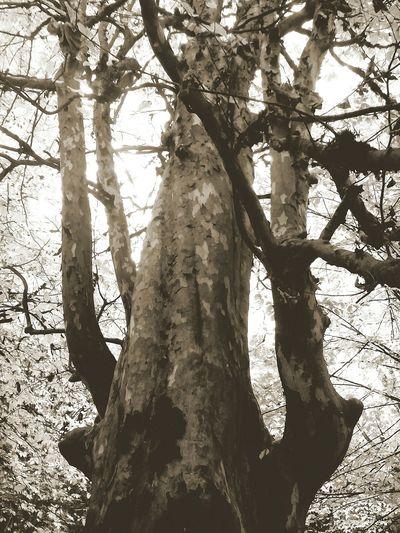 Black&white Black And White Kianush Trees Arboles Vintage Forest Foggy Morning Autumn