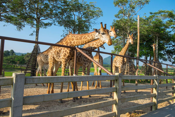 Giraffes waiting for food at Singhapark Chiang Rai, Thailand Thailand Animal Themes Chiangrai Day Domestic Animals Full Length Livestock Mammal Nature No People One Animal Outdoors Singhapark Sky Standing Sunlight Tree