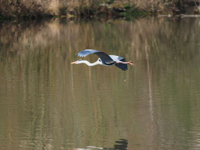 Animal Animal Themes Animal Wildlife Animals In The Wild Beauty In Nature Bird Day Flying Gray Heron Lake Mid-air Nature No People One Animal Reflection Spread Wings Water Water Bird Waterfront